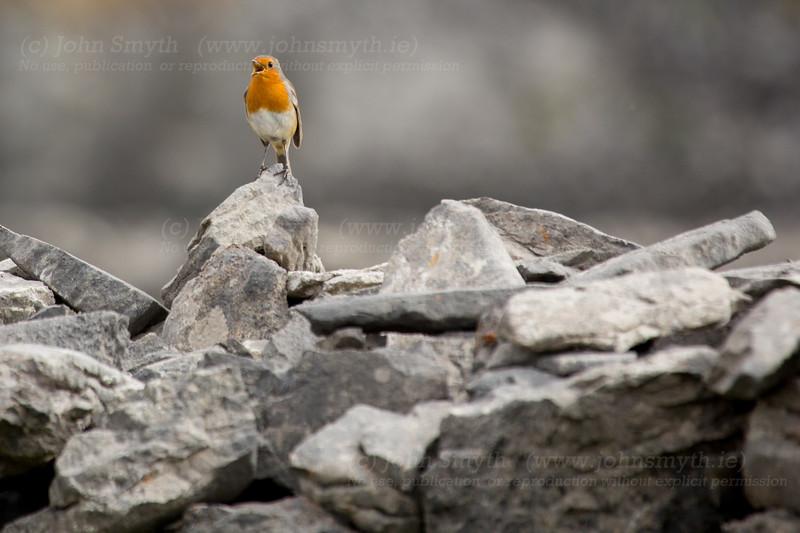 Robin on inis Mor