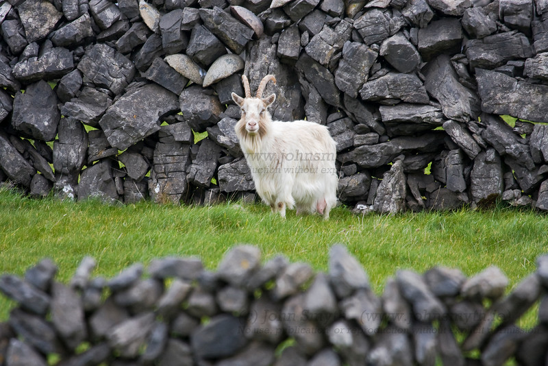 Goat on Inis Mor