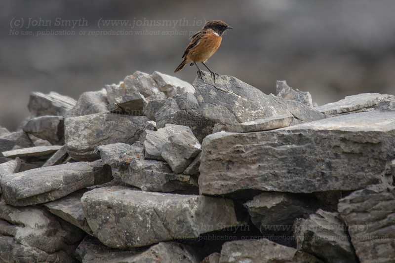 Stonechat on stone wall