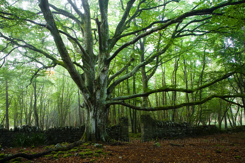 The stately home in Portumna no longer stands, but luckily, the magnificent stand of beech trees still remain. Most of Portumna Forest Park consists of conifers apart from this copse of broadleaf trees. This park is one of the few places that you'll see red squirrels, and a family of native red deer are bred in an enclosure at the park entrance.