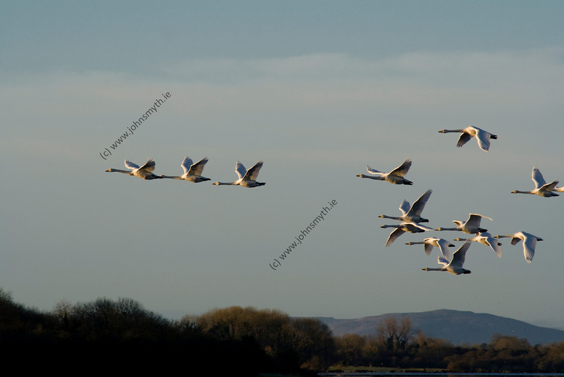 A flock of Whooper Swans fly across the turlough (lake) at Rahasane on a crisp winter's morning in Galway.
