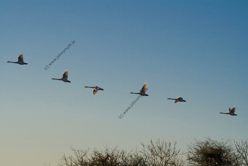 A flight of Whooper Swans in various wing positions as they fly across the turlough lake at Rahasane in east Galway