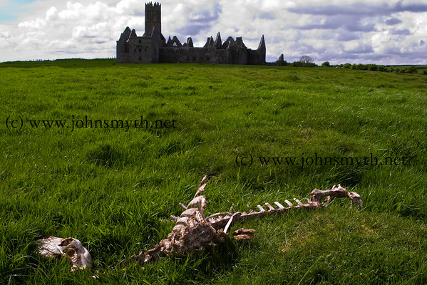 Skeleton of a dead sheep in the meadow beside Ross Errily friary, near Headford, Co. Galway.