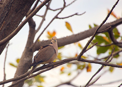 Red-eyed dove, (Streptopelia semitorquata)