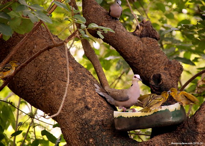 Black Billed Wood Dove (centre)