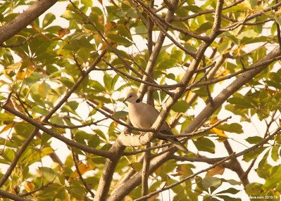 Black Billed Wood Dove