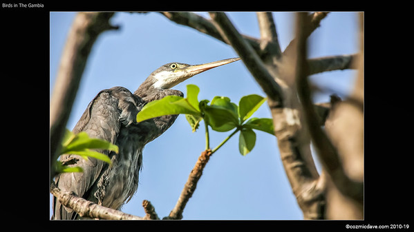 BIRDS IN THE GAMBIA SLIDESHOW 1-005