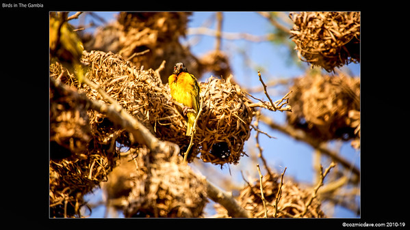 BIRDS IN THE GAMBIA SLIDESHOW 1-023