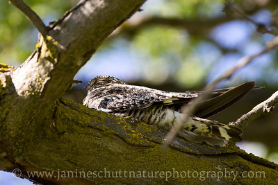 Common Nighthawk roosting on a tree branch.  Photo taken at the Vernita Rest Area in Benton County, Washington.