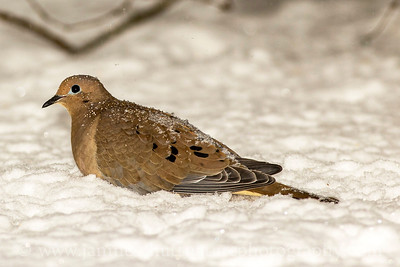Mourning Dove in snow near Bremerton, Washington.