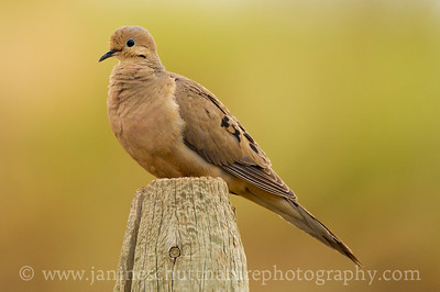 Mourning Dove.  Photo taken along Baird Springs Road near Quincy, Washington.