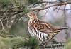 Ruffed Grouse in Spruce