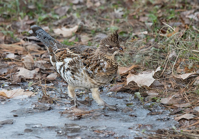 Ruffed Grouse Walking on Thin Ice