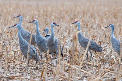 Cornstalk Cranes