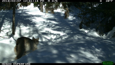 Figure 2. A family of Canada lynx is captured on a remote camera