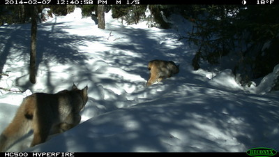 A family of Canada lynx is captured on a remote camera