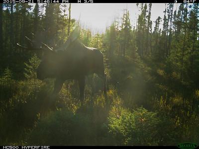 Bull Moose Bruiser
