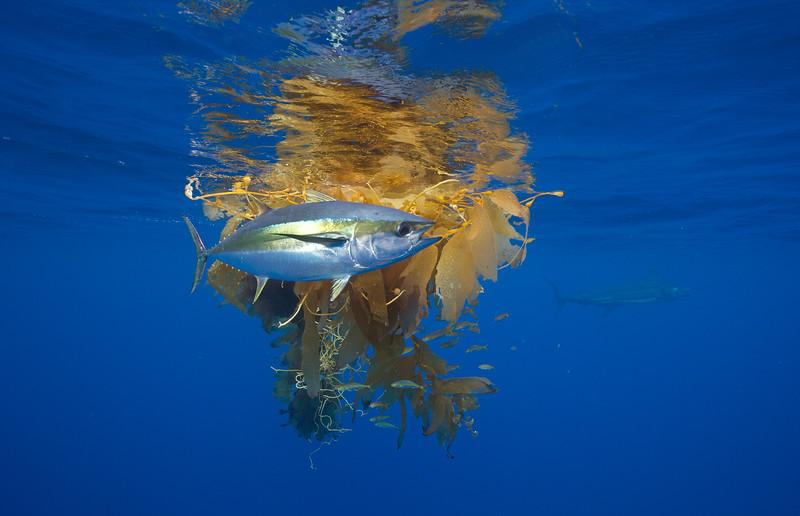 Yellowfin Tuna hiding from Blue Marlin