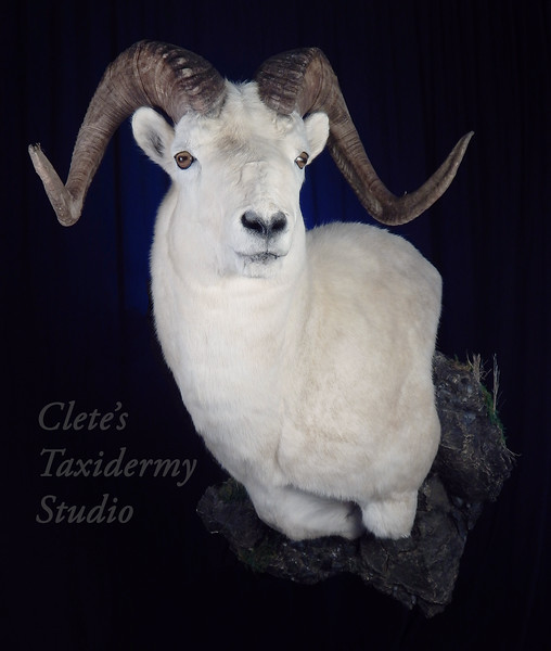 Yukon Dall Sheep wall pedestal