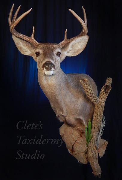 Sonoran coues deer