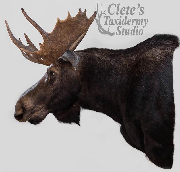 Alberta archery moose