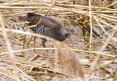 Water Rail (Rallus aquaticus), Marsworth reservoir, Nr Tring, Hertfordshire, 12/04/2013. All 3 Rails were out again today. There was a steady drizzle of rain which turned into something more substantial, hence why the bird looks so wet! Out on the water, a couple of Common Terns were hunting over the surface and a Yellow Wagtail flew in from the east.