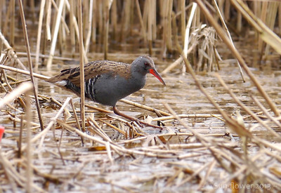 Water Rail (Rallus aquaticus), Marsworth reservoir, Nr Tring, Hertfordshire, 10/04/2013. On the hunt for fish...