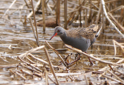 Water Rail (Rallus aquaticus), Marsworth reservoir, Nr Tring, Hertfordshire, 10/04/2013.
