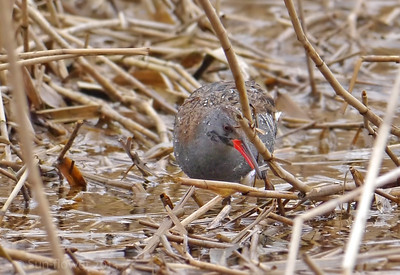 Water Rail (Rallus aquaticus), Marsworth reservoir, Nr Tring, Hertfordshire, 10/04/2013. You can just see the fish in the birds mouth. I couldn't keep track of which bird was which but, from what I observed, they were feeding well and finding lots of small fishes around the floating mass of reeds.