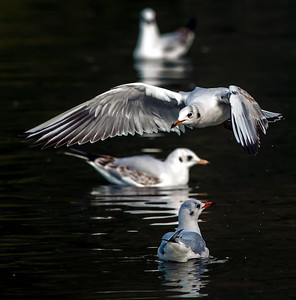 Gannets & Other Seabirds