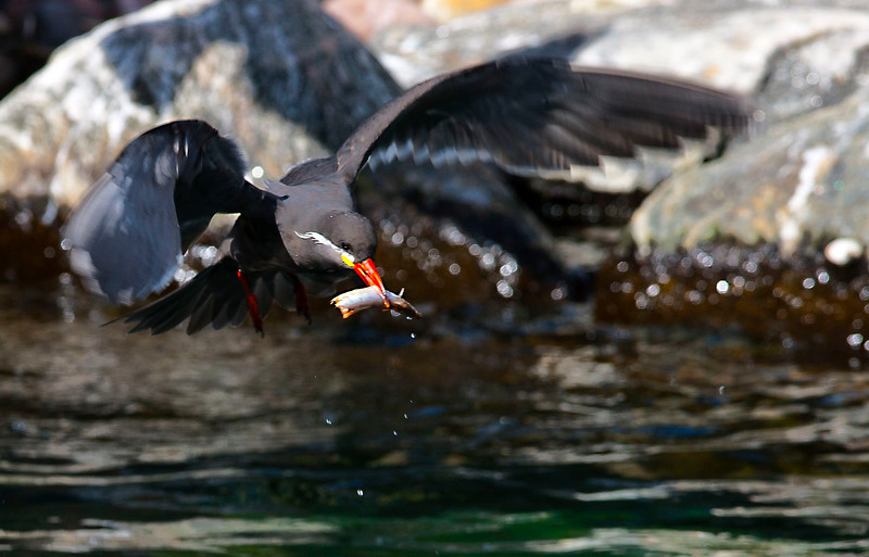 Aztec  Tern  with fish