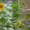 Sunflowers 2015, Columbia, South Carolina