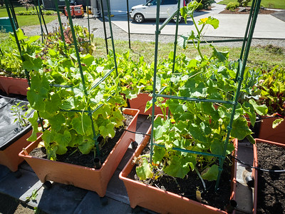 Both cucumber types are doing quite well. The burpless should have the first harvest this week, the lemon in another week or two.