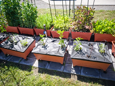Peppers and eggplant are enjoying the heat we've been having the past two weeks.