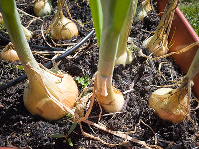 The onion on the right is about the size of a baseball. It could easily be harvested, but I am waiting until its bigger as it should get the size of a softball.
