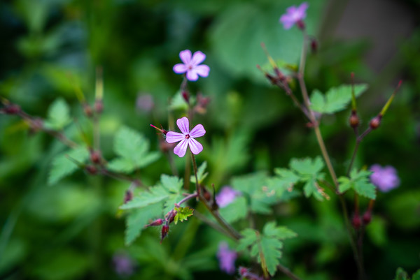Mountain geranium
