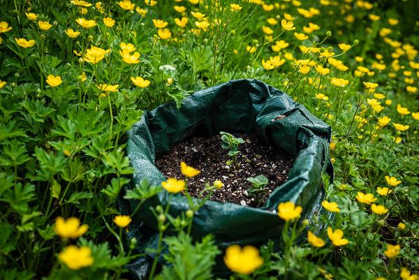 Buttercups and potato plant
