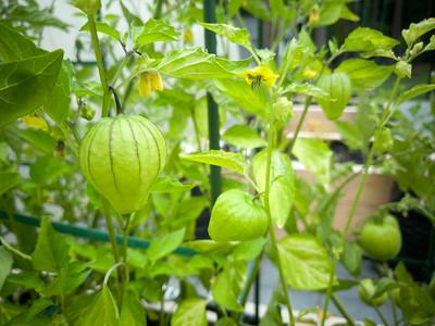 Tomatillos husks!