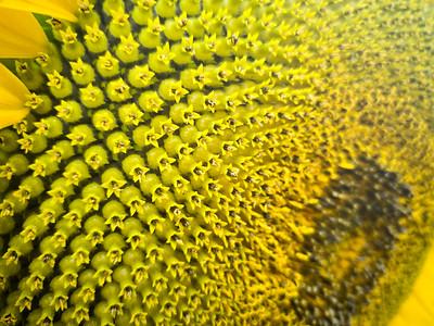Start of sunflower seeds