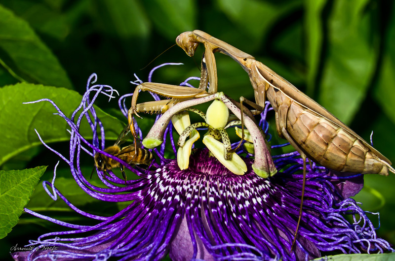 Praying Mantis and Bee on Passionflower  9/26/2012