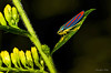 Leafhopper  9/2/2014
