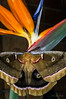 Moth on Bird of Paradise  7/22/2014