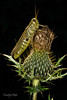 Grasshopper on Thistle