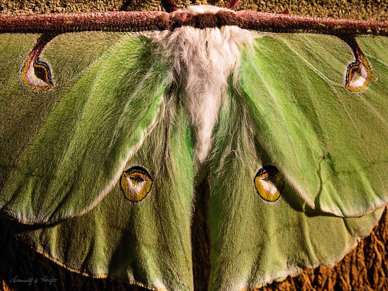 Luna Moth 7/14/2005