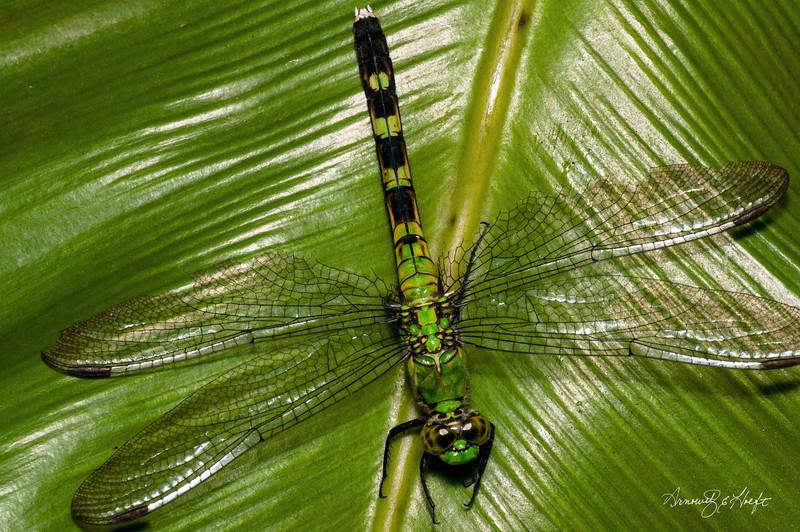 Dragonfly Gem  9/17/2010