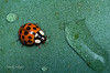 Ladybug and Water Oasis