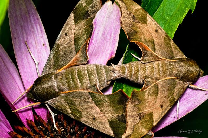 Mating Moths  7/31/2010