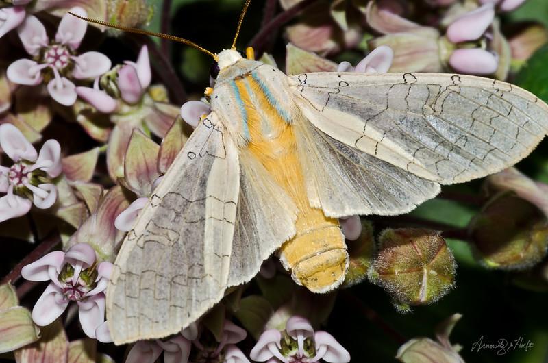 Moth on Milkweed  6/30/2012