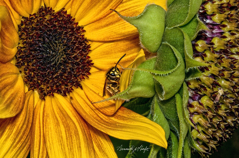 Wasp on Sunflower 9/8/2010