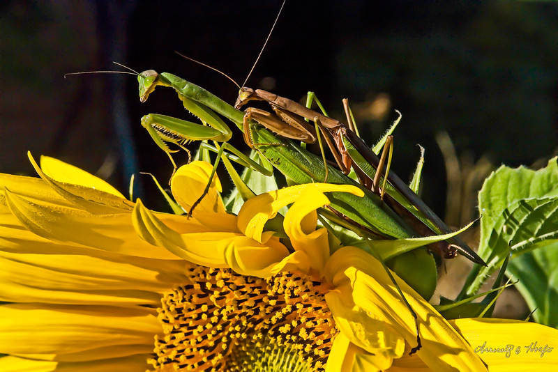 Preying Mantis  Couple  9/13/2007